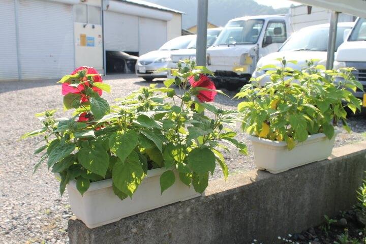ガーデンハイビスカス ロコガールの成長日記